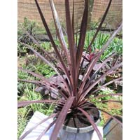 Black Knight Cordyline Australis Plants