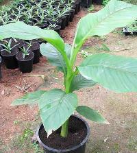 Musa basjoo Plants