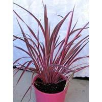 Pink Cordyline Australis Plants