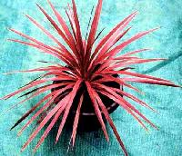 Red Star Cordyline Australis Plants