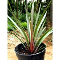 Sundance Cordyline Australis Plants