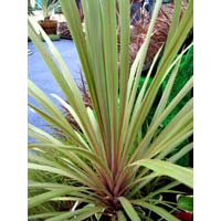 Sunset Cordyline Australis Plants