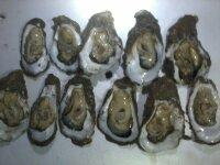 Live Oyster