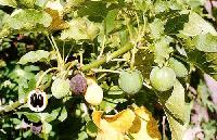 Jatropha Curcas Plant