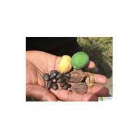 Jatropha Seed