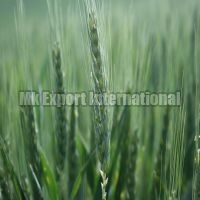 Hard Winter Wheat Seeds