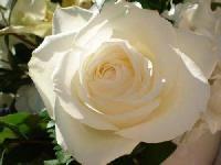 Avalanche Rose Flower