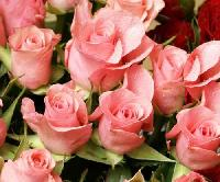 Noblesse Rose Flower
