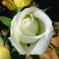 Rose Flower Plant
