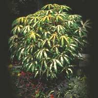 Tapioca Plant