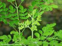 Moringa Leaf Powder, Moringa Seeds