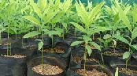 Sandalwood Plants