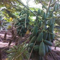 Iceberry Variety Papaya Plants