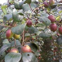 Red Apple Ber Plants