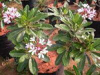 Plumeria Pink Plant