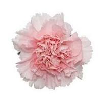 Fresh Carnations
