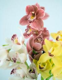Fresh Cymbidium Orchids