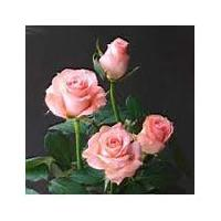Fresh Light Pink Rose