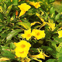 Allamanda Shrub Plant