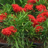 Ixora Mini Shrub Red Plant