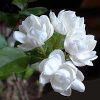 Natural Jasmine Flowers