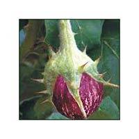 Vegetable Seeds Of Brinjal Atul