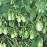 Vegetable Seeds of Brinjal Pranjal Fruits