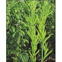 Vegetable Seeds of Clusterbean Sonali