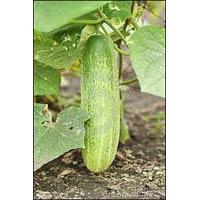 Vegetable Seeds Of Cucumber Komal