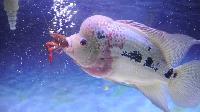 Flower Horn Fish