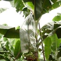 Banana Cultivator