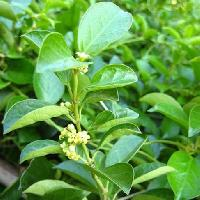 Gymnema Sylvestre Leaves
