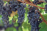 Black Seedless Grapes