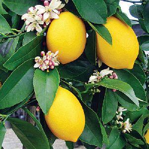 Lemon (nimbu) plant