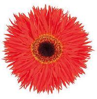 Cut Flower Gerbera