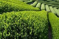 Assam Dust Tea