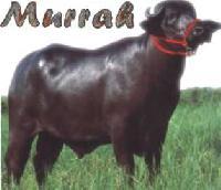 Murrah Buffaloes