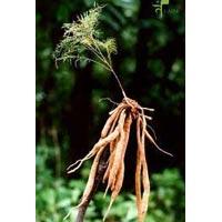 Asparagus Racemosus - ( Shatavari)