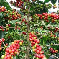 Coffee Arabica Extract