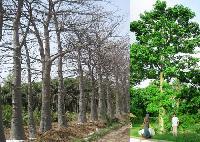 Adansonia Trees