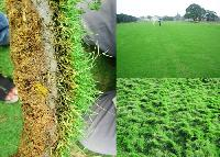 Korean & Bermuda Grass