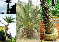 Phoenix Palms & Canary Island Palms