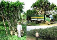 Plumeria Trees