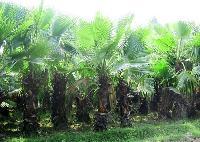 Washingtonia Palms