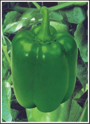 Hybrid Capsicum Seed