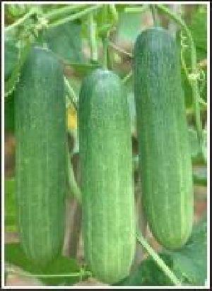 Hybrid Cucumber Seed