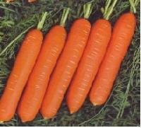 Hybrid Carrot Seeds