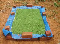 Asola Seed