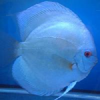 Blue Diamond Fish