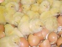 Poultry Hatcheries
